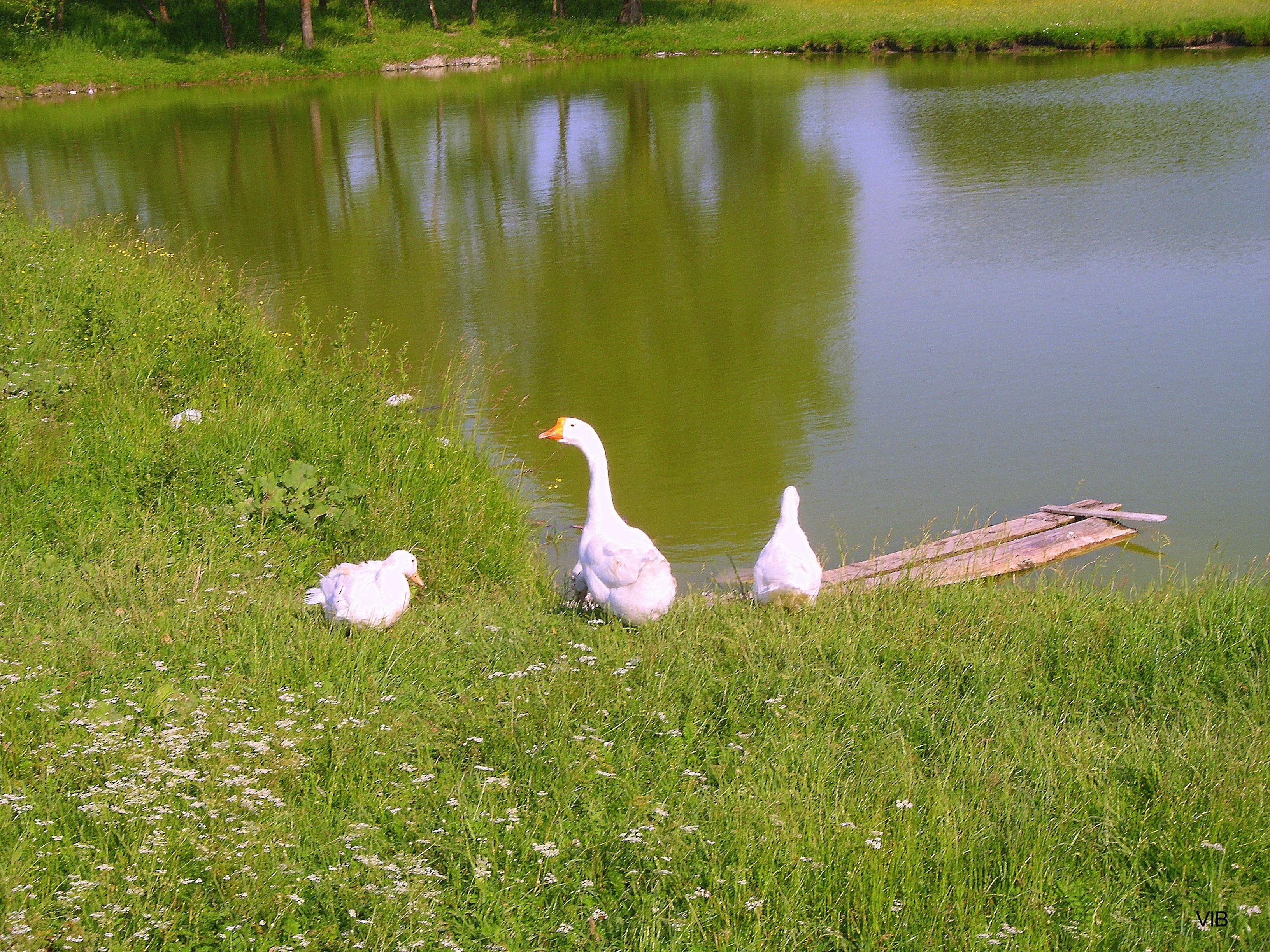 Гуси-хозяева пруда