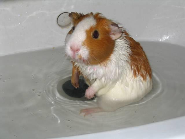 купание морской свинки фото