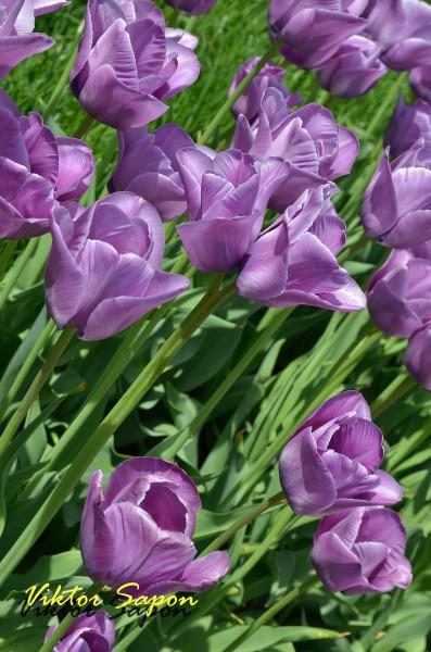 Тюльпан 2