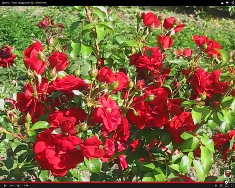 Роза Традишин 95