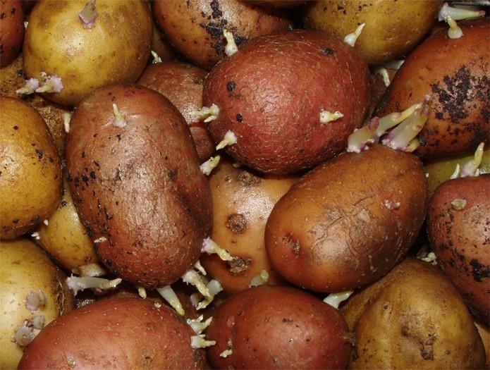 Когда сажать картофель на донбассе 7