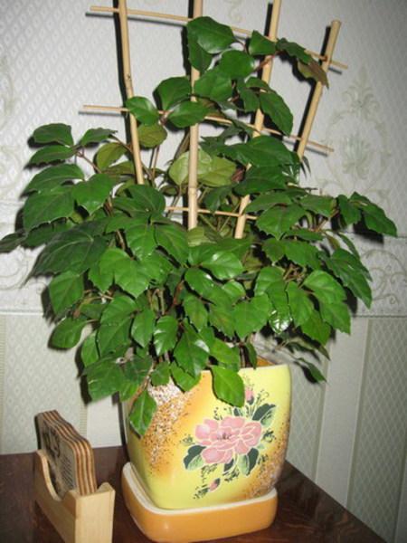 Фото цветка роициссуса