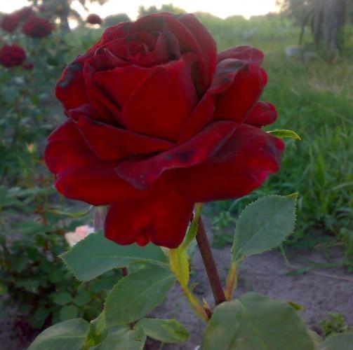 Роза Баркарола  - www.parostok.in.ua