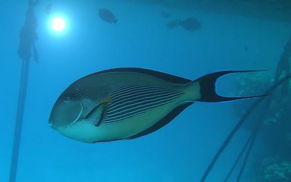 Рыба Хирург