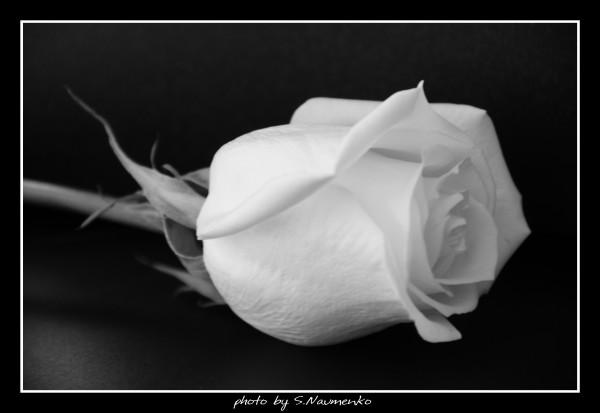 White Rouse