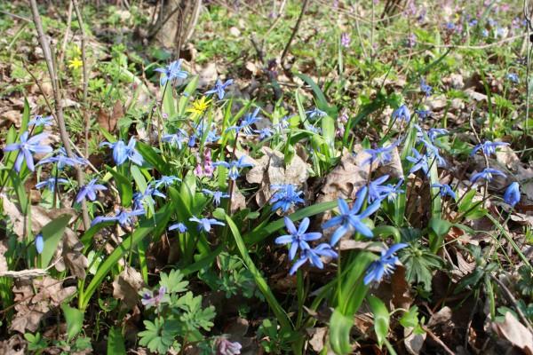 Первый цветок весны (пролисок)