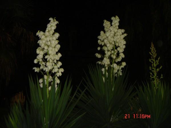 Цветущие Юки