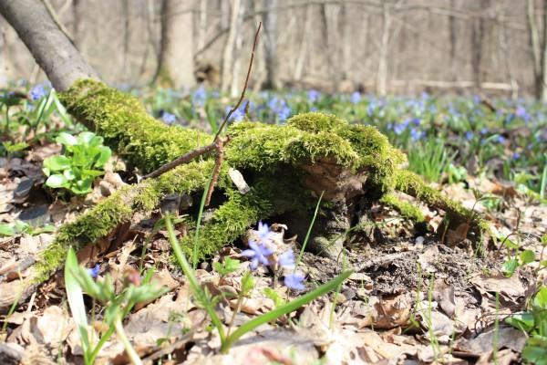 Цветущий мох