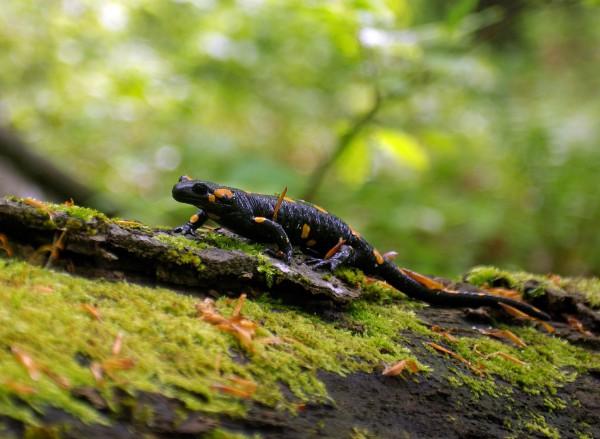 Вогняна саламандра
