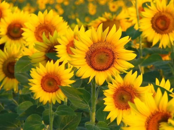 Цветы солнца 2.