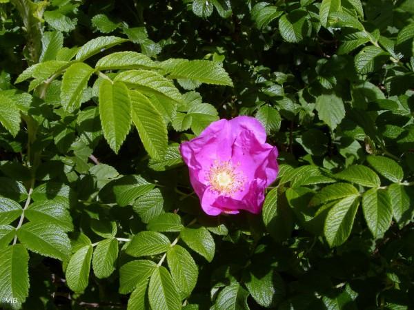 Красная роза шиповника