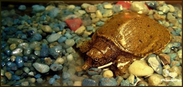 черепашка трионикс,  маленькая злюка...ну пока  маленькая =)) сейчас  правда уже раза в 3-4  больше, но расти ей еще  ого-го