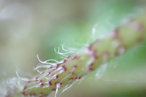 Волосатое растение