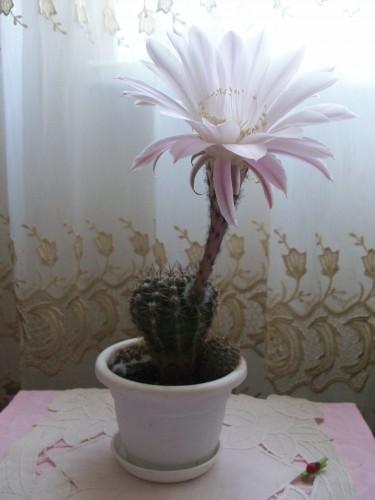 Зацвел домашний кактус!)
