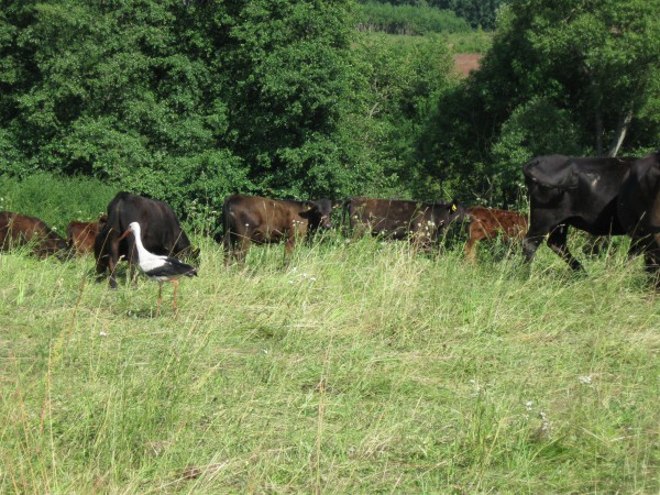 аист бродил прямо с коровами