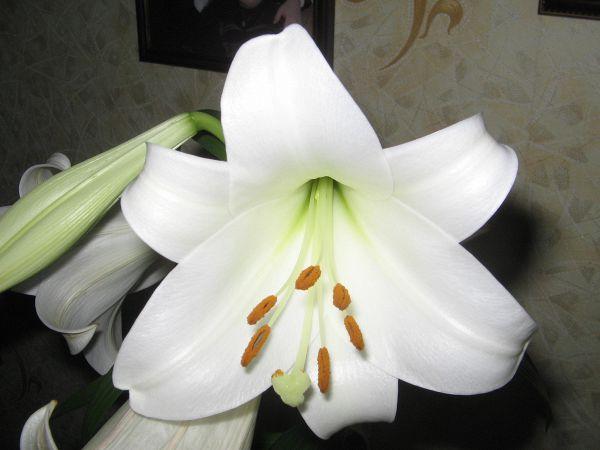 последняя лилия из сада 2 ноября