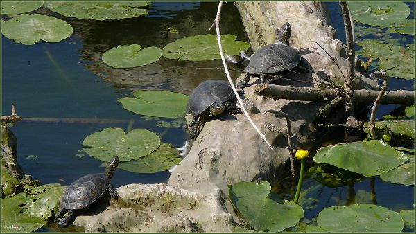 Європейська болотна черепаха / European pond turtle (also called the European pond terrapin / Emys orbicularis