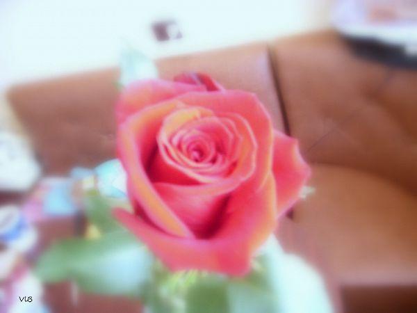 Юбилейная роза