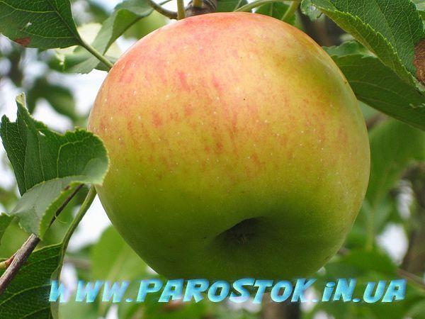 Яблоня (яблоко) Топаз