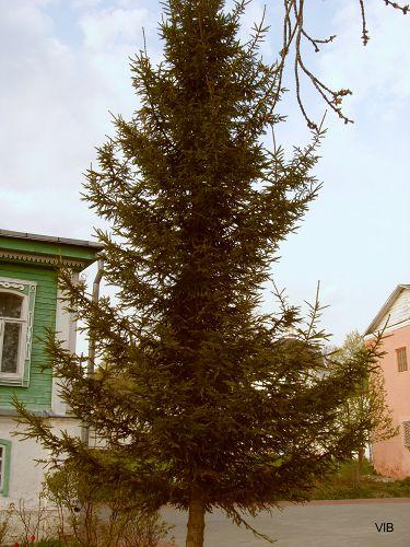 Ель возле игуменского дома
