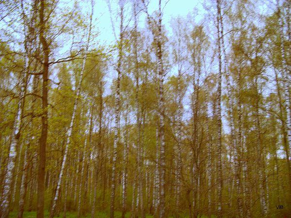 Вечереет в весеннем лесу