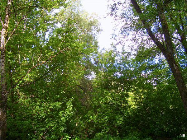 Прибрежный Деснянский лес