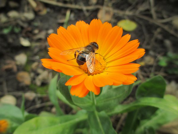 Пчелка на календуле.