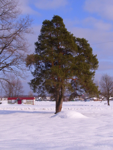 Одинокое деревце