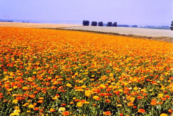 Календуловое поле