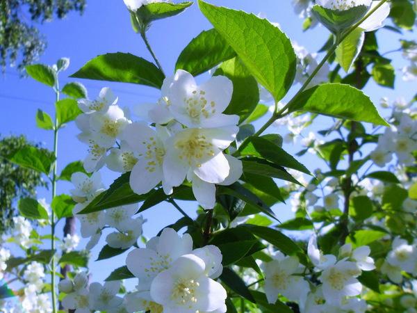 На Волгоградской площади цветёт жасмин
