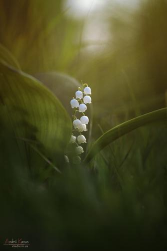 lily-may