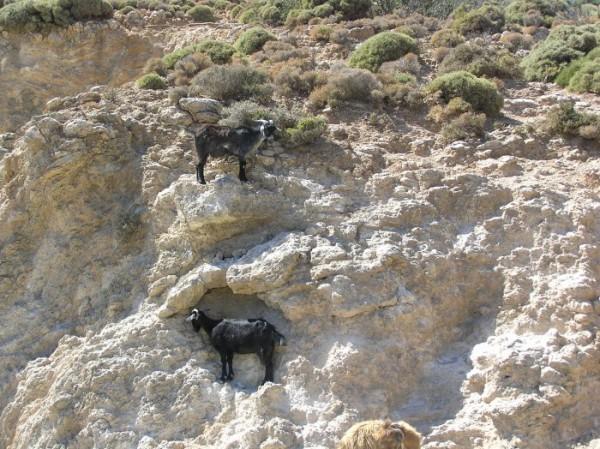 Почетные жители Крита в многоуровневых апартаментах:)) Горные козы подчас встречаются чаще, чем люди:)