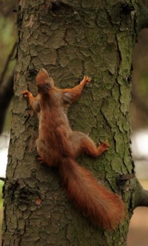 Белка любит обнимать дерево.  Дерево делает вид, что не замечает. Но иногда тихонько качает.