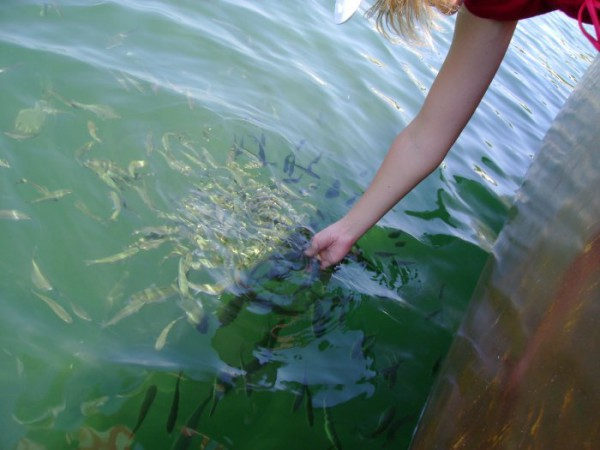 """А вы кормили тифлоновых, тоесть тифалевых рыбок..... или это была """"кифаль"""" :))))"""