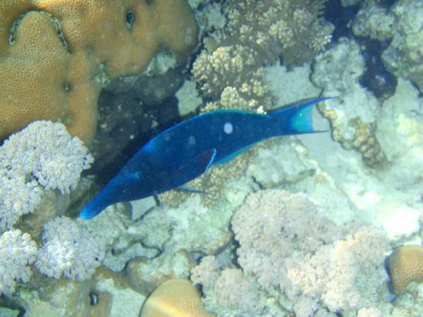 Голубая рыба-колибри