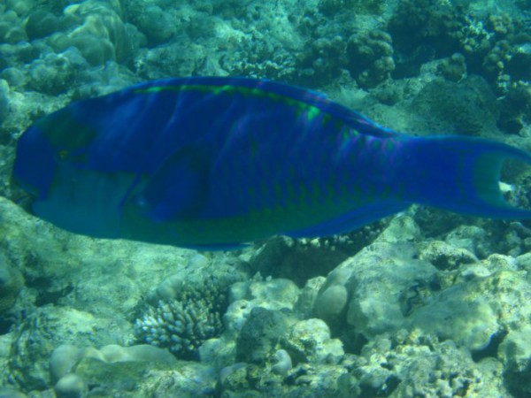 Рыба-попугай синий