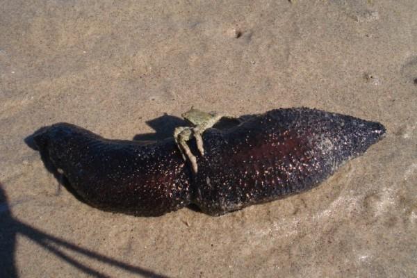 Вот он - морской огурец! Такой противный и жирный......