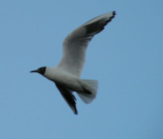 А сверху над утками - чайки