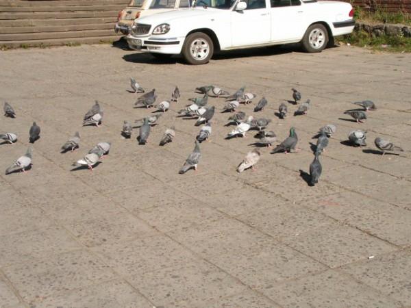 Львівські голуби - ну хіба я міг пройти повз і не сфотографувати :)