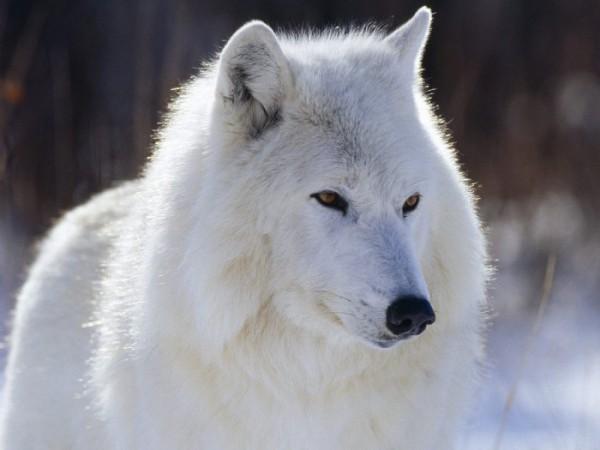 Одинокийм волк