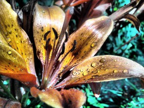 Весенняя лилия с капельками росы