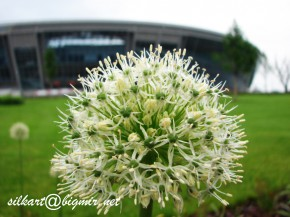 цветок-пушинка