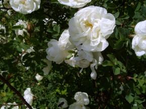 Цветёт шиповник