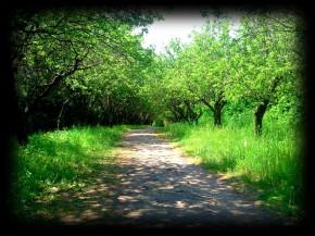 Яблочный сад весной