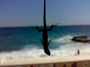 Это маленький гекончик, длиной около 12 сантиметров, которого я словил на отдыхе в Крыму.  После съёмки животинка была отпущена на свою скалу, где и скрылась вскудной растительности.