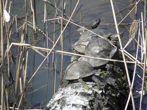 черепахи на солнце