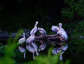 семейство пеликанов