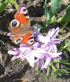 Бабочка и гиацинт