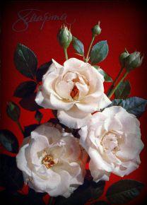 Белые,белые розы