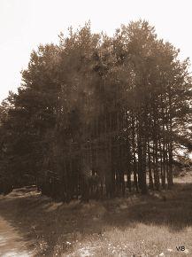 Чёрно-белый лес